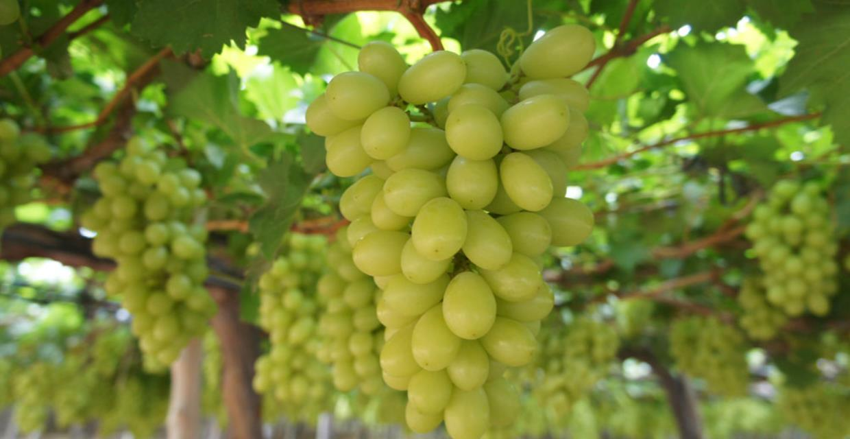 [pt]UVA O ANO INTEIRO?[en]GRAPES DURING THE WHOLE YEAR?
